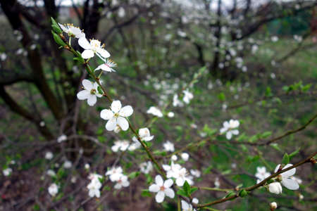 harbinger: Blooming twig tree in an orchard. Spring harbinger. Stock Photo