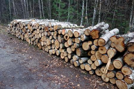 deforestacion: Registros del árbol de abedul. Deforestación. Foto de archivo