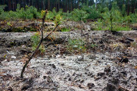 coniferous tree: Coniferous tree seedling