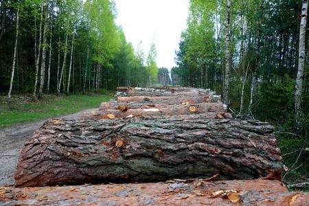 deforestacion: PINO montón. Deforestación Foto de archivo