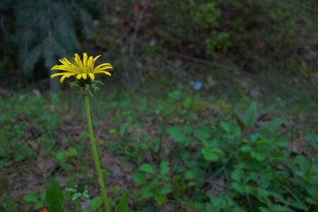sow: Lonely sow thistle flower