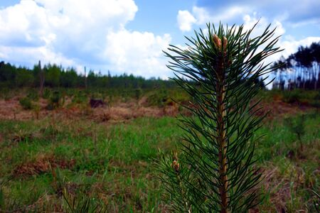 christmas budget: Young coniferous tree twig. Abstract forest landscape.