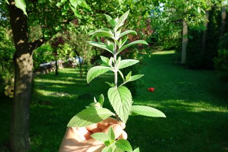 Fresh mint in garden