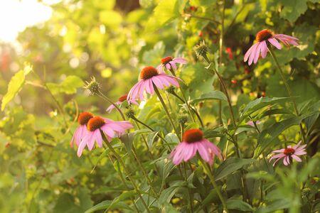 Bright Echinacea purpurea in the sunlight. Beautiful purple coneflower flowers.