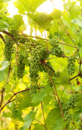 Growing grape in vineyard in the sunlight. Clusters of unripe grape close-up. 版權商用圖片