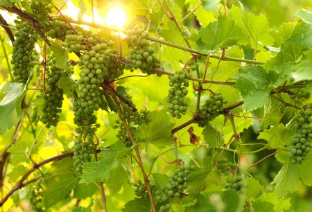 Growing grape in vineyard in the sunlight. Clusters of unripe grape close-up. 免版税图像