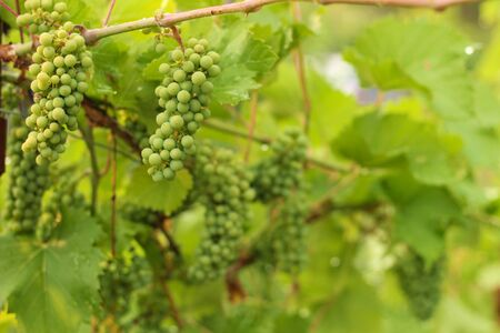 Growing grape in vineyard in the sunlight. Clusters of unripe grape close-up. Reklamní fotografie