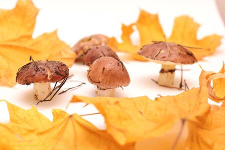 A bunch of dirty, unpeeled standing on tube Suillus mushrooms isolated on a white background with yellow maple leaves. Selective focus. 写真素材 - 133551237