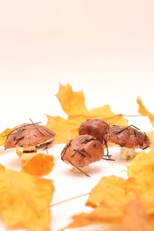 A bunch of dirty, unpeeled standing on tube Suillus mushrooms isolated on a white background with yellow maple leaves. Selective focus. 写真素材 - 133551264
