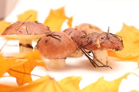 A bunch of dirty, unpeeled standing on tube Suillus mushrooms isolated on a white background with yellow maple leaves. Selective focus. 写真素材 - 133551298