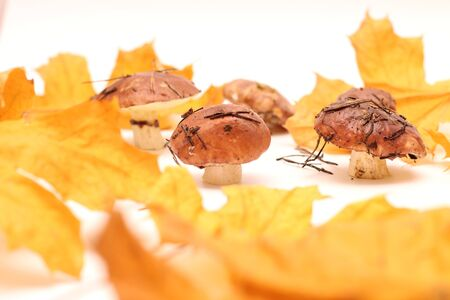 A bunch of dirty, unpeeled standing on tube Suillus mushrooms isolated on a white background with yellow maple leaves. Selective focus.