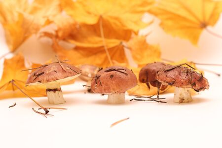 A bunch of dirty, unpeeled standing on tube Suillus mushrooms isolated on a white background with yellow maple leaves. Selective focus. 写真素材 - 133551485