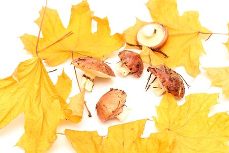 A bunch of dirty, unpeeled standing on tube Suillus mushrooms isolated on a white background with yellow maple leaves. Selective focus. 写真素材 - 133551486