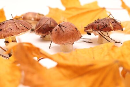 A bunch of dirty, unpeeled standing on tube Suillus mushrooms isolated on a white background with yellow maple leaves. Selective focus. 写真素材 - 133551490