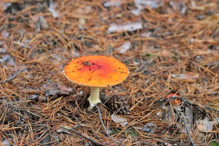 lonely Amanita muscaria in a pine forest 写真素材 - 133551505
