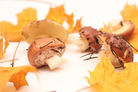 A bunch of dirty, unpeeled standing on tube Suillus mushrooms isolated on a white background with yellow maple leaves. Selective focus. 写真素材 - 133551576