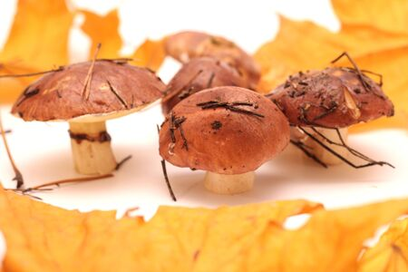 A bunch of dirty, unpeeled standing on tube Suillus mushrooms isolated on a white background with yellow maple leaves. Selective focus. 写真素材 - 133551588