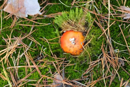lonely Amanita muscaria in a pine forest. Top view. 写真素材