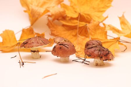 A bunch of dirty, unpeeled standing on tube Suillus mushrooms isolated on a white background with yellow maple leaves. Selective focus. 写真素材 - 133551603