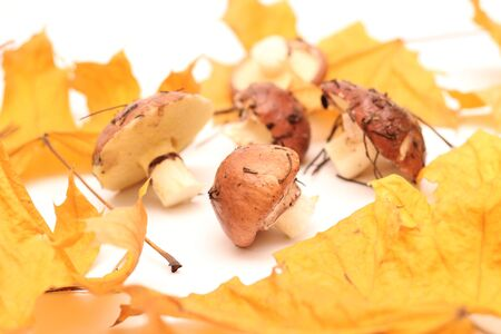 A bunch of dirty, unpeeled standing on tube Suillus mushrooms isolated on a white background with yellow maple leaves. Selective focus. 写真素材 - 133551694