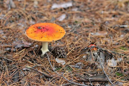 lonely Amanita muscaria in a pine forest
