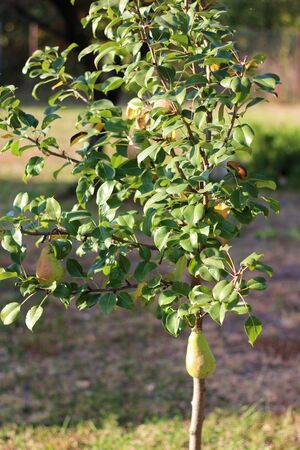 Ripe pear hanging on a tree