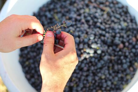 Two hands picking grapes with clusters over a large white bucket of berries. Wine making process 写真素材