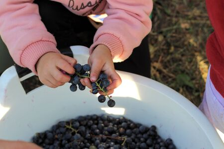 Childrens hands picking grapes with bunches over a large white bucket of berries. Wine making process 写真素材