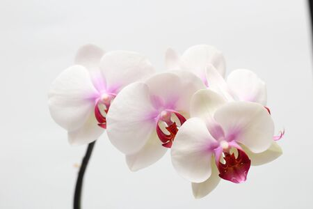 Large lilac green orchid petals on a white background. Perfect blank for a holiday card