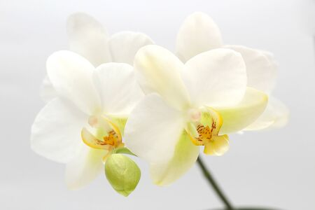 White-yellow orchid flowers isolated on white background. Perfect blank for a holiday card