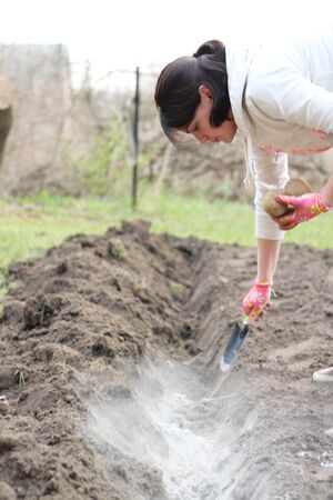 A female hand in a glove and a scoop scatters the ashes in the garden before planting potatoes. The process of fertilizing the soil before growing potatoes