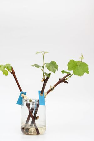 Isolated rooted grapevine cuttings with green young leaves on a white background. The process of growing vines at home.