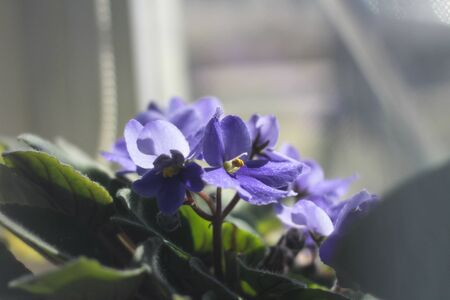 A pot of beautiful violets on the windowsill