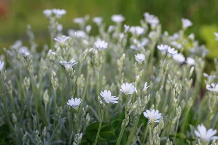 Meadow of many small white flowers on a blurred background. Banco de Imagens