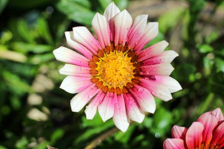 Beautiful flower with pink and white petals and a yellow core on a blurred green background Banco de Imagens