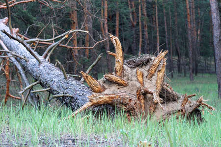 The roots of a tree lying on its side torn by a hurricane from the soil in the rays of a sunny sunset