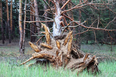 A centered shot of the root of an old tree torn from the ground by a strong wind.