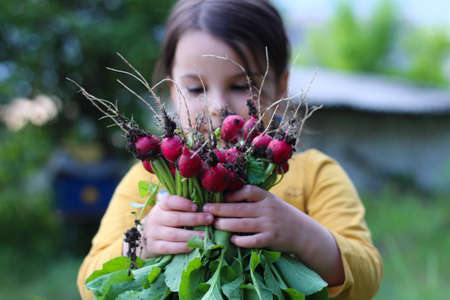 girl holding harvested radishes on her hands. Archivio Fotografico