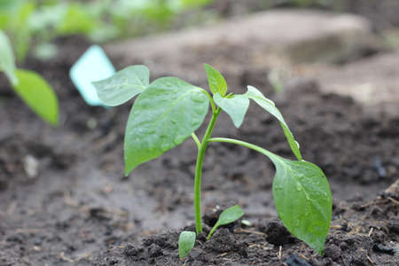 Young freshly planted pepper seedling in the soil. Leaves in water droplets 写真素材