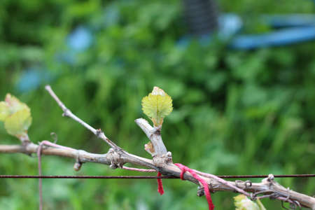 Blooming grape bud on blurred vineyard background