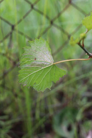 The reverse side of the leaf of a young vine with fungal disease. Powdery mildew in the vineyard