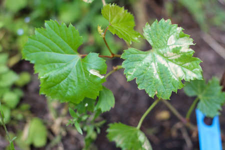 Disease of young vine leaves