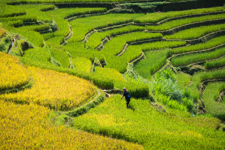 Terraced rice field landscape near Sapa in Vietnam. Mu Cang Chai Rice Terrace Fields stretching across the mountainside, layer by layer reaching up as endless, with about 2,200 hectares of rice terraces, of which 500 hectares of terraces of 3 communes suc