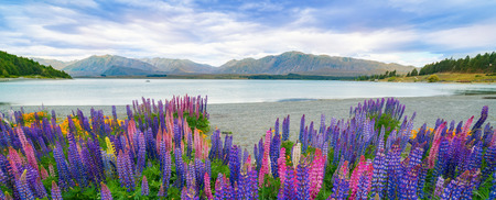 Landscape at Lake Tekapo and Lupine Field in New Zealand. Lupin field at lake Tekapo hit full bloom in December, summer season of New Zealand, providing spectacular scenic landscape. Stock Photo