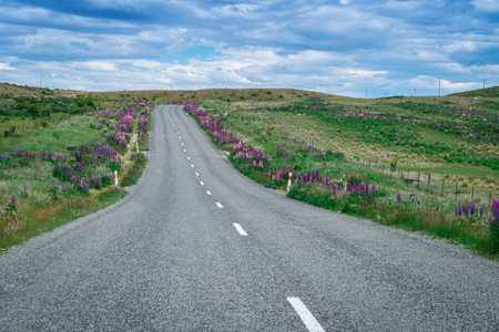 Road in Lupine Field, New Zealand. Road trip and tourism in New Zealand. Stock Photo