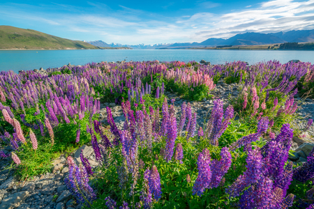 Landscape at Lake Tekapo and Lupin Field in New Zealand. Lupin flower at lake Tekapo hit full bloom in December, summer season of New Zealand.
