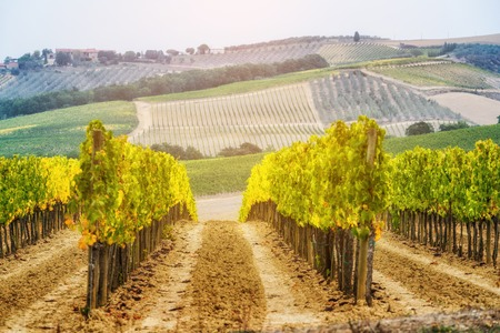 Vineyard landscape in Tuscany, Italy. Tuscany vineyards are home to the most notable wine of Italy.