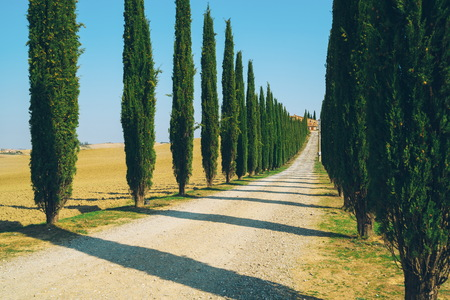 Faded film filter - Tuscany landscape of cypress trees row along side road in countryside of Italy. Cypress trees define the signature of Tuscany known by many tourists visiting Italy.