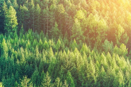 Green forest of fir and pine trees landscape background in the wilderness nature area. Concept of sustainable natural resources, healthy environment and ecology.