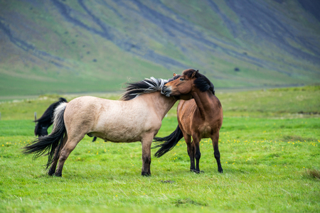 Icelandic horse in the field of scenic nature landscape of Iceland.